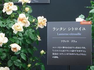 世界初公開のバラ.jpg