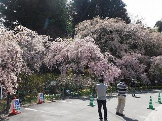 光前寺の駐車場の桜.jpg