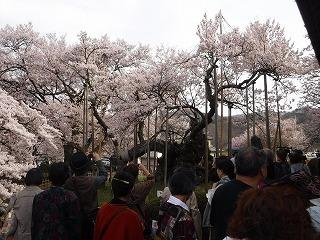 山高神代桜.jpg
